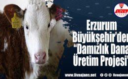 """Erzurum Büyükşehir'den """"Damızlık Dana Üretim Projesi"""""""