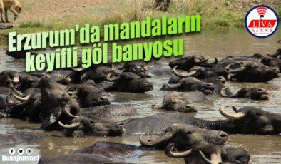Erzurum'da mandaların keyifli göl banyosu